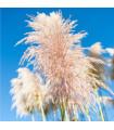 Pampová tráva ružová - Pampas - Cortaderia selleona - semiačka - 10 ks