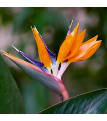 Strelícia kráľovská - Strelitzia reginae - semiačka - 2 ks