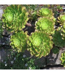 Ružicovica - Aeonium ciliatum - semiačka - 10 ks