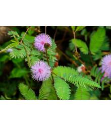 Mimóza - Mimosa pudica - semiačka - 5 ks