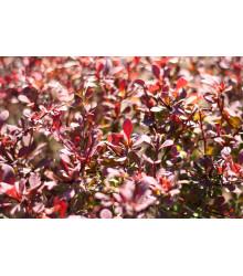 Červený dráč - Berberis thunbergii Atropurpurea - seemiačka - 5 ks