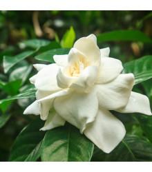 Gardenia - Gardenia jasminoides - semiačka - 6 ks