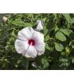 Ibištek bahenný Mallo Rose - Hibiscus moscheutos - semiačka - 5 ks