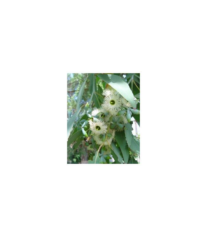 Eukalyptus Alba - semiačka - 9 ks