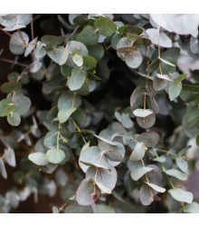 Eukalyptus guni - Eucalyptus gunnii - semiačka - 10 ks