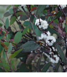 Eukalyptus pauciflora mrazuvzdorný - Eucalyptus pauciflora - semiačka - 8 ks