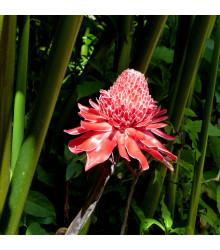 Zázvor ružový okrasný - Etlingera elatior -semiačka - 3 ks