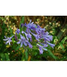Kalokvet modrý - Agapanthus praecox - semiačka - 8 ks