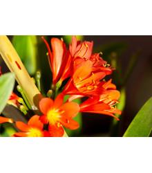 Klívia - Clivia robusta - semiačka - 3 ks