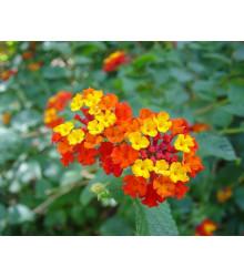 Lantana menlivá - Lantana camara - semiačka - 10 ks