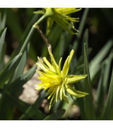 Narcis - Mininarcis Rip van Winkle - cibuľky - 3 ks