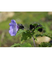 Lilík mochyňovitý - Nicandra physalodes - semiačka - 10 ks
