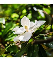 Magnólia veľkokvetá - Magnolia grandiflora - semiačka - 5 ks