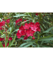Oleander - Nerium - semiačka - 4 ks