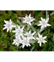 Plesnivec alpínsky - Leontopodium alpinum - semiačka - 15 ks