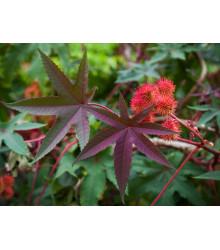Ricín obyčajný červený- Ricinus communis gibsoni - semiačka - 3 ks