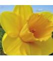 Narcis - Trelawney zlatý - cibuľky - 3 ks