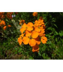Cejcher sibírsky - Cheiranthus allionii - semiačka - 1 gr