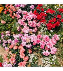 Klinček trpasličí - mix farieb - Dianthus caryophyllus - semiačka - 130 ks