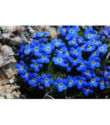 Nezábudka alpská temne modrá - Myosotis alpestris - semiačka - 130 ks