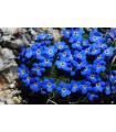 Nezábudka alpská temne modrá - Myosotis alpestris - semiačka - 0,1 gr