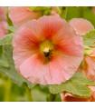 Topoľovka plnokvetá ružová Chaters - Alcea rosea - semiačka - 0,4 gr
