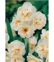 Narcis biely - W-Churchil - cibuľky - 3 ks