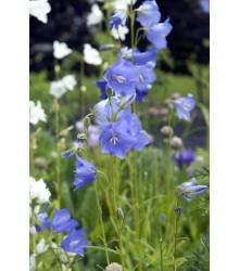 Zvonček broskyňolistý modrý - Campanula persicifolia -semiačka - 0,2 gr