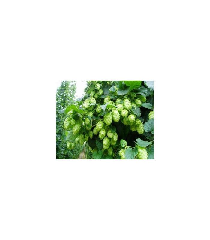 Chmeľ pnúci -Humulus japonicus - semiačka - 7 ks