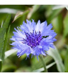 Nevädza poľná modrá - Centaurea cyanus - semiačka - 30 ks