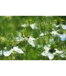 Černuška damašská biela - Nigella damascena - semiačka - 200 ks