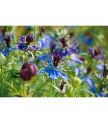 Černuška damašská modrá - Nigella damascena - semiačka - 200 ks