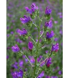 Hadinec skoroceľový - Echlum plantagineum - semiačka - 0,5 gr