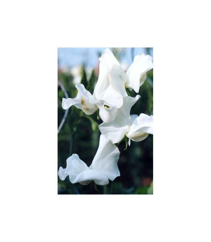 Hrachor popínavý kráľovský biely - Lathyrus odoratus - semiačka - 20 ks