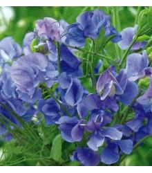 Hrachor popínavý kráľovský modrý - Lathyrus odoratus -semiačka - 20 ks
