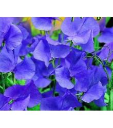 Hrachor popínavý modrý - Lathyrus odoratus - semiačka - 20 ks