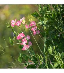 Hrachor voňavý kráľovský lososovo ružový - Lathyrus odoratus - semiačka - 20 ks