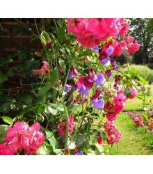 Hrachor voňavý ružový - Lathyrus odoratus -semiačka - 20 ks