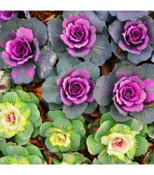 Kel okrasný hlávkový - hit do záhrady - Brassica oleracea sabauta - semiačka - 50 ks