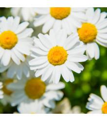 Margaréta balkónová biela - Chrysanthemum paludosum - semiačka - 500 ks
