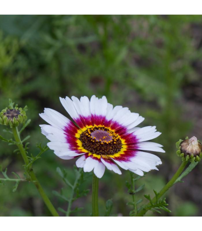 Margaréta - Chrysanthemum carinatum - semiačka - 0,3 gr