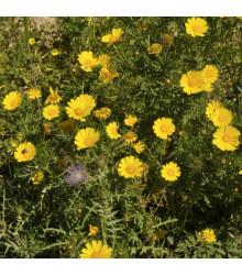 Margaréta ovsená Helios - Chrysantemum segetum - semiačka - 100 ks