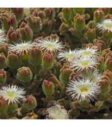 Poludňovka trblietavá - kosmatec kryštálový - Mesembryanthemum crystallinum - semiačka - 300 ks