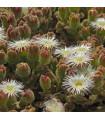 Poludňovka trblietavá - kosmatec kryštálový - Mesembryanthemum crystallinum - semiačka - 0,05 gr