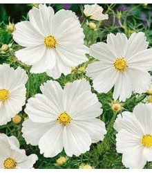 Krasuľka perovitá Biela senzácia - Cosmos bipinnatus - semiačka - 40 ks