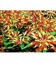 Láskavec trojfarebný - Amaranthus tricolor - semiačka - 0,2 gr