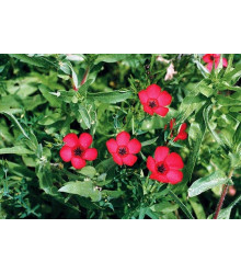 Ľan červený veľkokvetý - Linum grandiflorum - semiačka - 140 ks