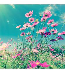 Letničky - záhradný sen v ružovom - semiačka - 0,9 g