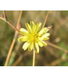Locika kompasová - Lactusa serriola - semiačka - 10 ks