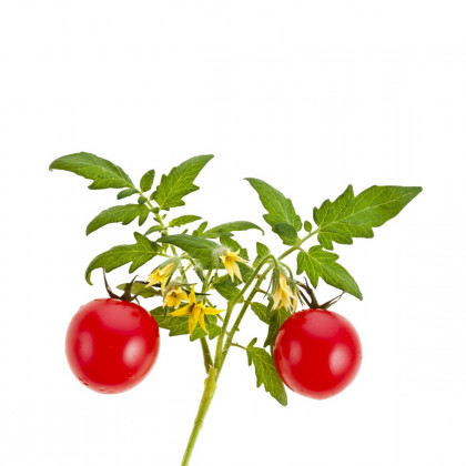 Kolíkové paradajky